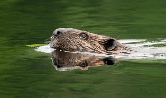 A beaver zigzags throught the waters of a swamp in High Point State Park, Montague, NJ, in mid-June. Dawn J. Benko for Pike and Monroe Life.