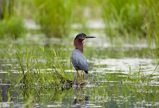 A green heron hunts in a swamp in High Point State Park, Montague, NJ, in mid-June. Dawn J. Benko for Pike and Monroe Life.