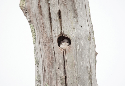 A tree swallow peeks out from it's nest in a swamp at High Point State Park, Montague, NJ, in mid-June. Dawn J. Benko for Pike and Monroe Life.