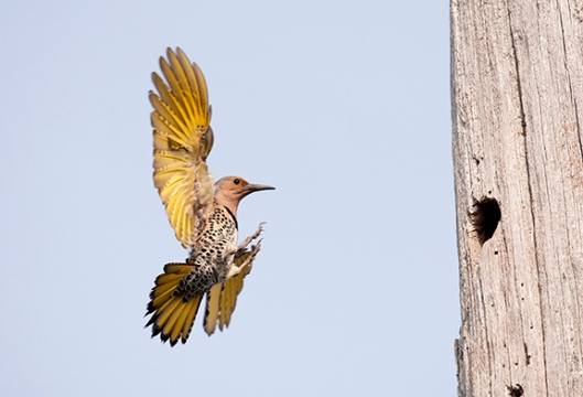 A northern flicker heads to its nest at High Point State Park, Montague, NJ, in late June. Dawn J. Benko for Pike and Monroe Life.