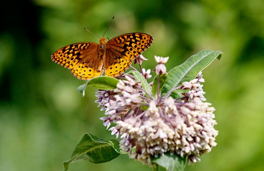 A great spangled fritillary checks out some milkweed at Steenykill Lake in High Point State Park, Montague, NJ, in mid-July. Dawn J. Benko for Pike and Monroe Life