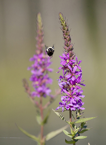 A bumblebee checks out the purple loosestrife in a swamp at High Point State Park, Montague, NJ, in mid-July. Dawn J. Benko for Pike and Monroe Life