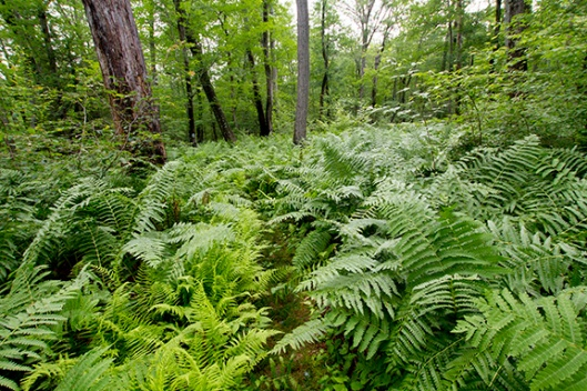 Ferns obscure a trail in High Point State Park, Montague, NJ, in late June. Dawn J. Benko for Pike and Monroe Life