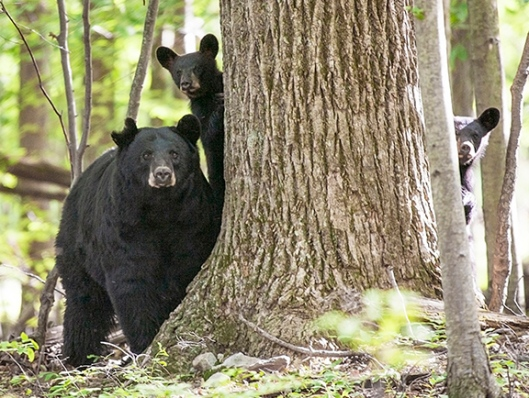 A family of black bears peeks out from behind a tree in High Point State Park, Montague, NJ, in July of 2007. Photo is not for sale. Dawn J. Benko for Pike and Monroe Life