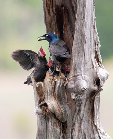 A grackle feeds its babies in High Point State Park, Montague, NJ, in June of 2008. Photo is not for sale. Dawn J. Benko for Pike and Monroe Life