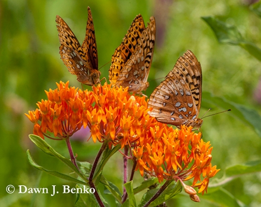 Great spangled fritillaries on butterfly weed