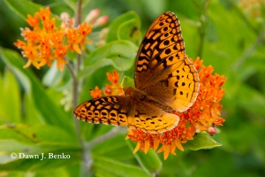 Great spangled fritillary on butterfly weed