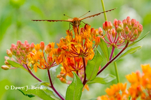 Great spangled fritillary & butterfly weed